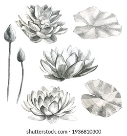 Lotuses flowers and lotus leaves in pencil. Water lily. Pencil drawing of leaf stems and water lily buds.