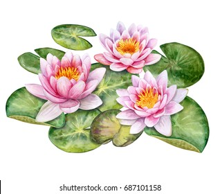 The lotuses. Water lilies isolated on white background. Watercolor. Illustration. Image. Picture.