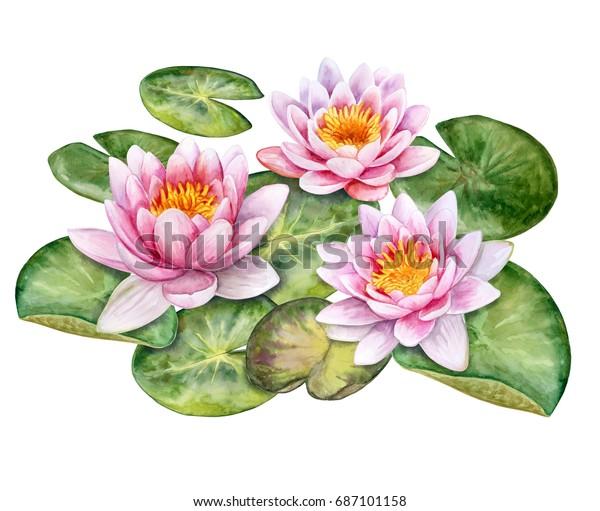 Лотосы. Водяные лилии изолированы на белом фоне. Акварель. Иллюстрация. Изображение. Картинка.