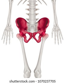 Lower half length Human Skeleton with red highlight on Hip- Pelvis- Socket joint and Thigh bone pain area Front View- Human Anatomy and Medical concept- Isolated on white background.