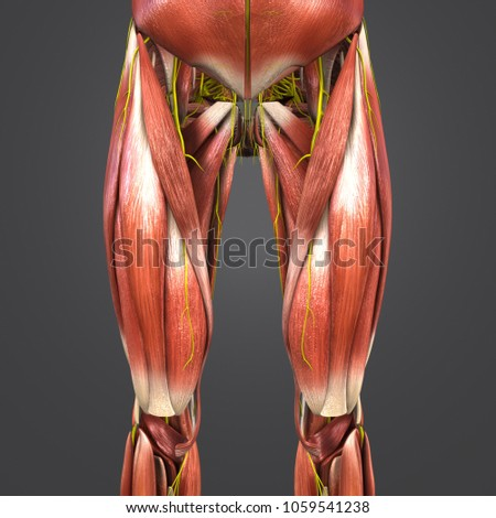 Royalty Free Stock Illustration of Lower Limbs Muscles Anatomy ...