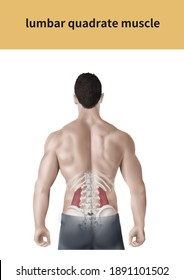 lumbar quadrate muscle  Medical illustration for explanation