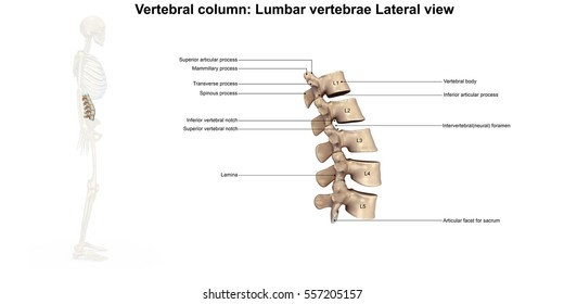 Lumbar spine lateral view 3d illustration