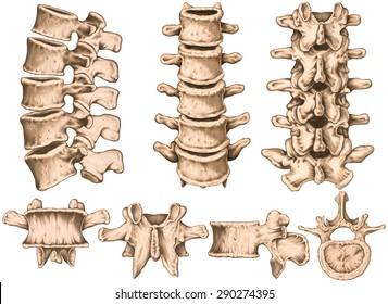 lumbar spine structure, vertebral bones, second lumbar vertebra,  lumbar vertebrae, lumbar spine, vertebral bone, human skeletal system, anterior, lateral, posterior, superior view