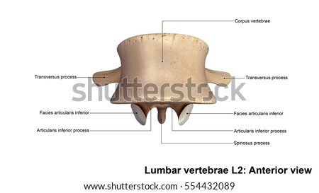 Lumbar Vertebrae L 2 Anterior View 3 D Stock Illustration 554432089 ...