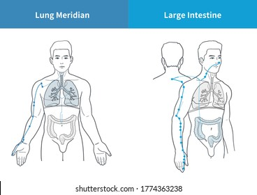 Lung and Large intestine Meridian medical illustration