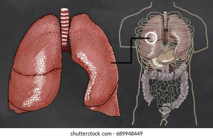 Lungs Anatomy Illustration with Torso
