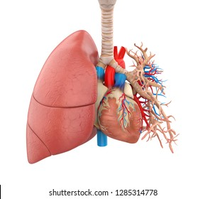 Lungs and Heart Anatomy Illustration. 3D rendering