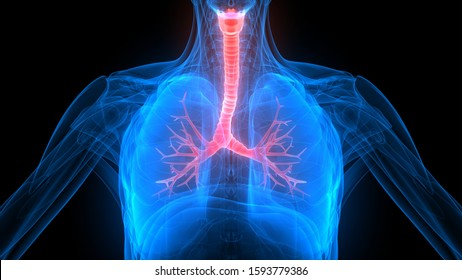 Lungs a Part of Human Respiratory System Anatomy X-ray 3D rendering