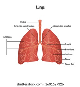 Lungs symbol. Breathing exercise. Respiratory system isolated on white background as Health care and science concept.