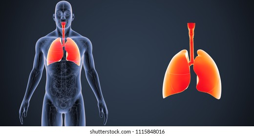 Lungs zoom with anatomy anterior view 3d illustration
