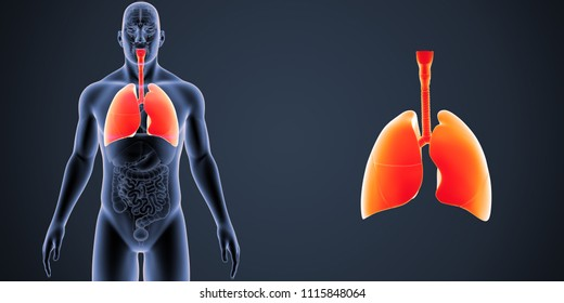 Lungs zoom with organs anterior view 3d illustration