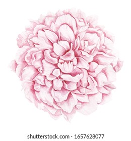 Luxurious pale pink peony, watercolor handmade illustration. This beautiful flower is suitable for decorating wedding invitations, as a logo of a flower shop or for example for printing on clothes