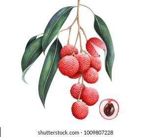 Lychee branch isolated on white background. Hand drawn watercolor illustration.