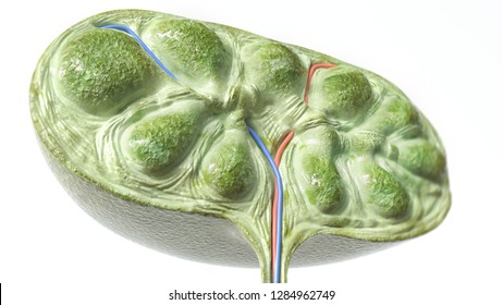 Lymph node section -- 3D Rendering