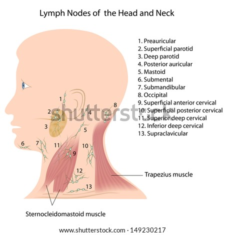 Throat Diagram Lymph - Car Wiring Diagrams Explained •