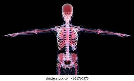 lymph nodes with skeleton 3d illustration