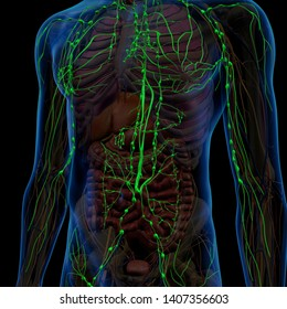 Lymphatic System Internal Anatomy in Male Chest and Abdomen 3D Rendering