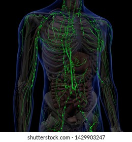 Lymphatic System Internal Anatomy in Male Chest and Abdomen, 3D Rendering