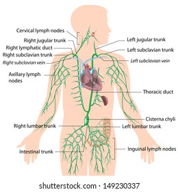 Lymphatic system, labeled diagram.