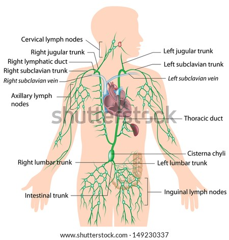 Royalty Free Stock Illustration of Lymphatic System Labeled Diagram ...