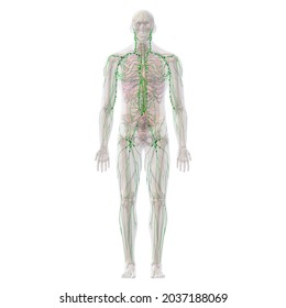 Lymphatic System with Skeletal and Internal Organ Anatomy, Full Body Front View on White Background, 3D Rendering