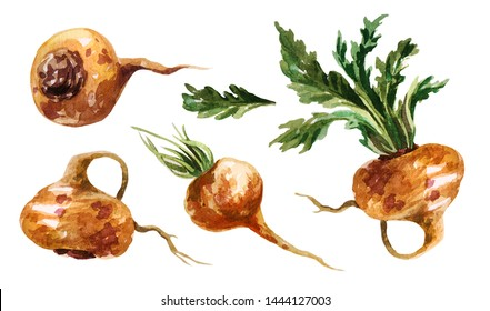 Maca. Lepidium meyenii. Hand drawing watercolor on white background. Can be used for decoration of cards, stickers, encyclopedias, menus and ingredients of dishes, as well for seed packaging.