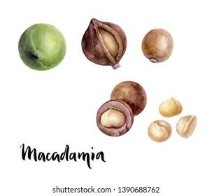 Macadamia nut watercolor illustration isolated on white background