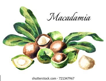 Macadamia nuts composition. Watercolor hand-drawn illustration