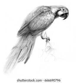 Pencil Drawing Parrot High Res Stock Images Shutterstock