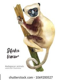 Madagaskar animals watercolor illustration hand drawn wildlife isolated on a white background. sifaka lemur