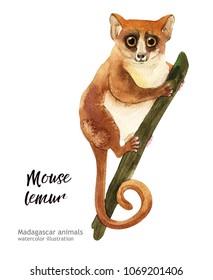 Madagaskar animals watercolor illustration hand drawn wildlife isolated on a white background. Mouse lemur