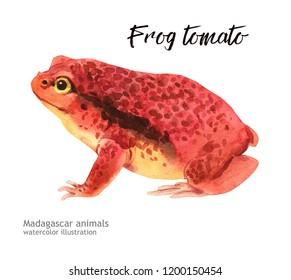 Madagaskar animals watercolor illustration hand drawn wildlife isolated on a white background. frog tomato
