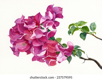 Magenta Bougainvillea with Leaves.  Watercolor painting, illustration style, of magenta colored bougainvillea on a branch with a leafy branch with a white background.