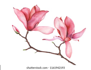 Magnolia branch isolated on white background. Hand drawn watercolor illustration.