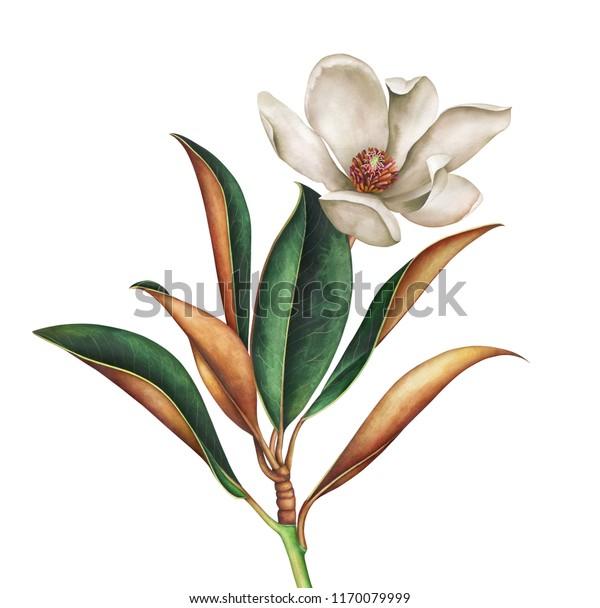 Магнолия ветвь с листьями и белым цветком, выделенным на белом фоне. Ручной рисунок акварели иллюстрации.