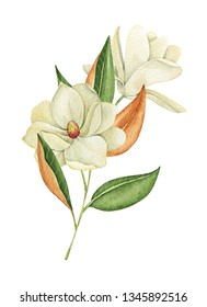 Magnolia flowers, watercolor drawing