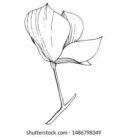 Magnolia foral botanical flowers. Wild spring leaf wildflower isolated. Black and white engraved ink art. Isolated magnolia illustration element on white background.