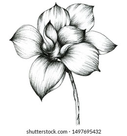 Magnolia. Graphic Illustration of blooming magnolia. Big flower isolated on a white background. For design -posters, greeting card, invitations.