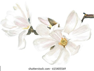 Magnolia white. Watercolor