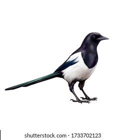 magpie (pica pica), realistic drawing, illustration for bird encyclopedia, isolated image on white background