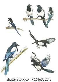 Magpies on one branch. Magpies in flight. A different angle. Watercolor. Isolated white background.