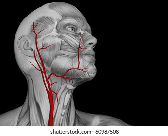 Major Arteries of the Neck