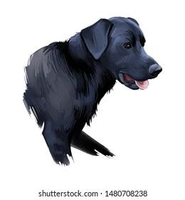Majorca shepherd dog, perro de pastor mallorqu n digital art illustration. Pet originated in Spain, domestic animal mammal showing tongue. Ca de bestiar medium-sized canine breed with black fur