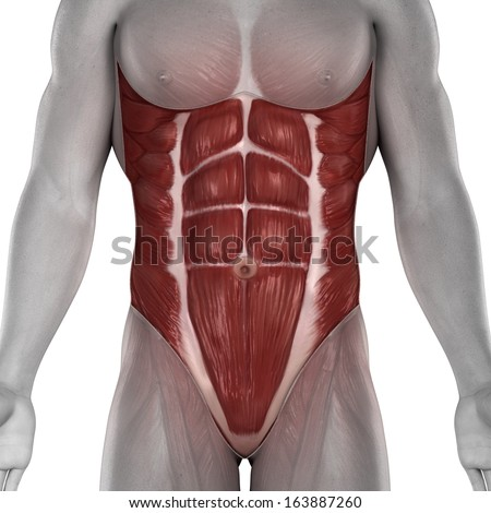 Male Abdomen Muscles Anatomy Isolated Stock Illustration - Royalty ...