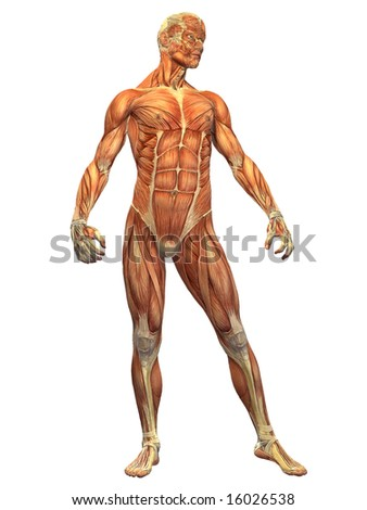 Male Anatomy Appears Under Skin Showing Stock Illustration 16026538