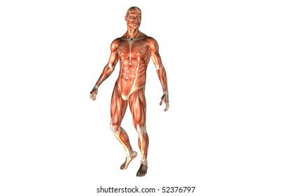 The male anatomy the human body.