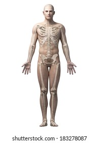 male anatomy illustration - the skeleton