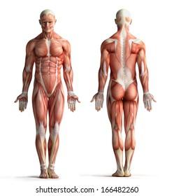 male anatomy view