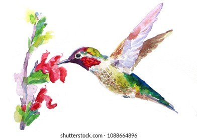 Male Anna's hummingbird with red flowers watercolor painting  isolated on white background.